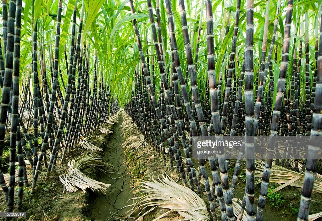 استغلال مخلفات قصب السكر بالهند لزيادة الإنتاجية الزراعية.