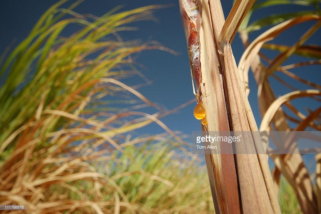 سماد دبس السكر(العسل الأسود)