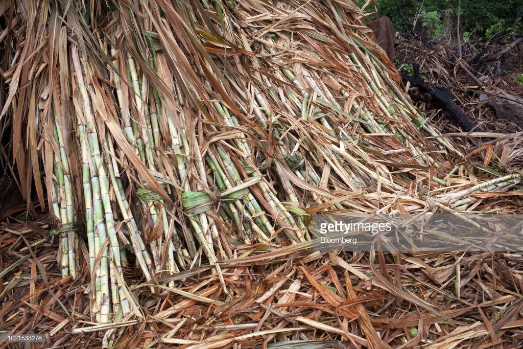 استخراج الشمع من قصب السكر والحفاظ على البيئة