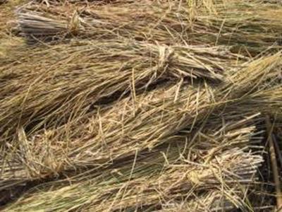 استخدام قش الأرز كمصدر للطاقة الحيوية