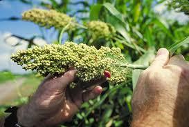 استخدام الذرة لإنتاج الدهون بواسطة الخميرة