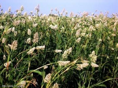 إنتاج تغذية البروتين من ساق الذرة الرفيعة